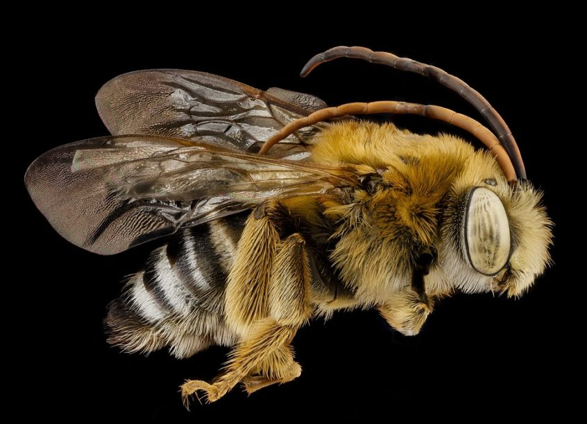 long horned bee